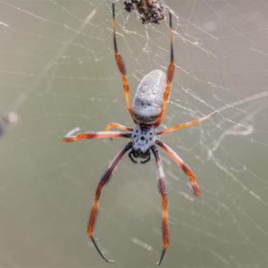 كيفية تربية العنكبوت
