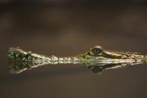 كيف يتنفس التمساح تحت الماء