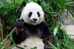 ماذا يأكل دب الباندا