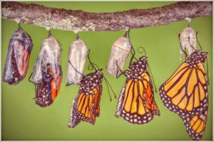 مراحل نمو الفراشة
