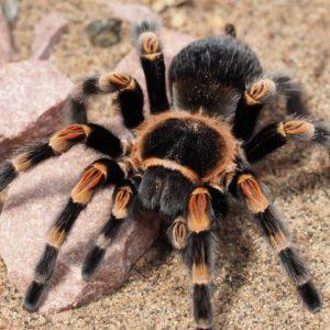 أنواع العناكب