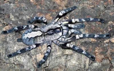 عنكبوت الزينة الهندي