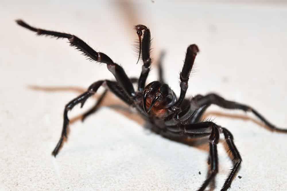 العنكبوت الأسترالي القمعي الشبكة