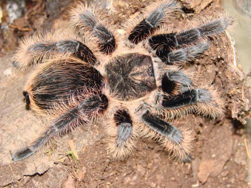 عنكبوت هوندوراس المعقوص الشعر