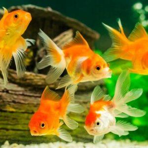 تربية أسماك الزينة