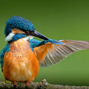 معلومات عن طائر الرفراف