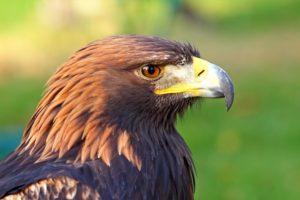معلومات عن طائر العقاب الذهبي