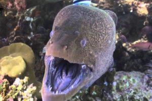 أنواع سمك الأنقليس