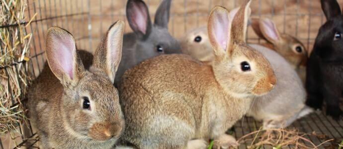 كيفية تربية الأرانب للمبتدئين