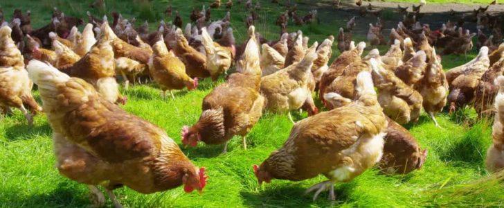 تربية الدجاج في المنزل
