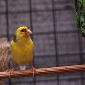 طرق تربية طائر الكناري