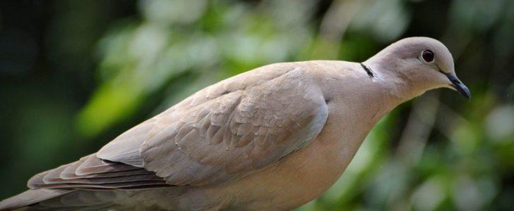 معلومات عن طائر اليمام