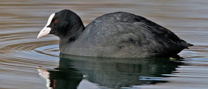 أسماء الطيور المائية