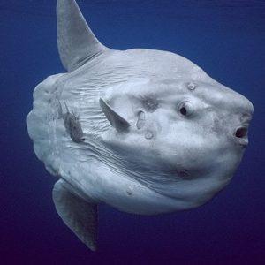 معلومات عن سمكة شمس المحيط