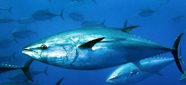 معلومات عن سمك التونة