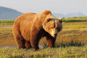 معلومات عن الدب البني