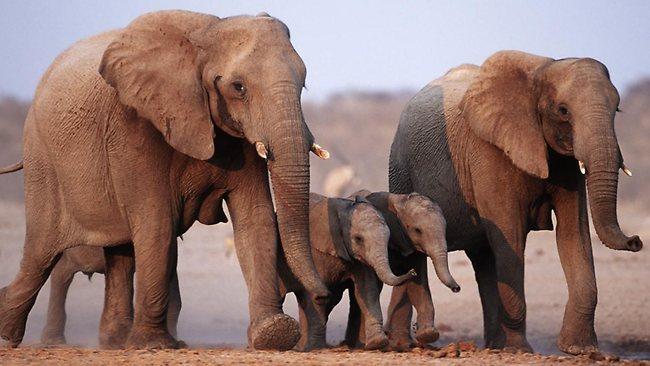 الفيل الأفريقي