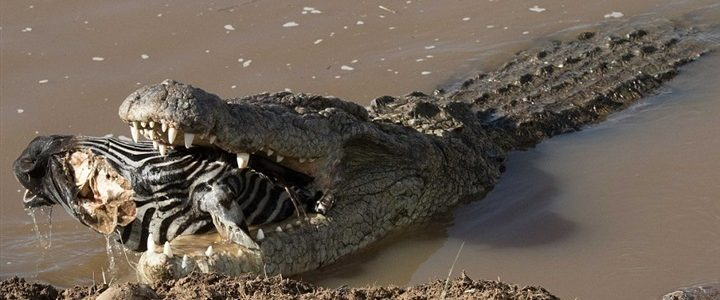 ماذا يأكل التمساح