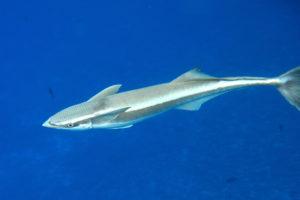 معلومات عن سمك الريمورا اللاصقة