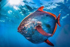 معلومات عن سمكة القمر (الأوباه)