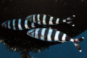 معلومات عن سمك الزامور