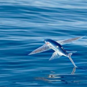 معلومات عن السمك الطائر