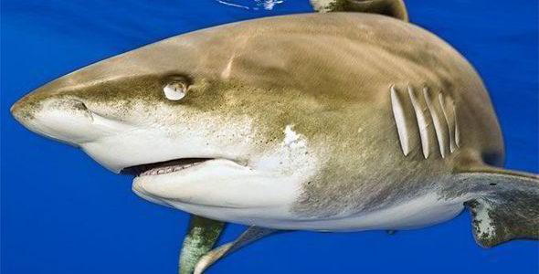 معلومات عن القرش المستدفئ