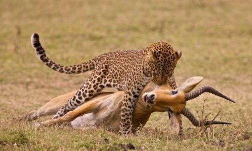 ماذا يأكل الفهد
