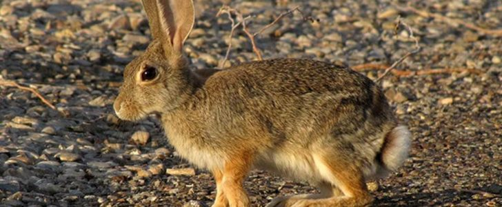 معلومات عن أرنب الجبل البري