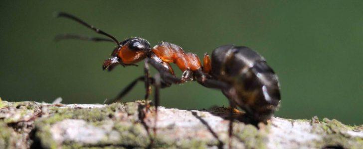 معلومات عن نمل الخشب