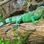 معلومات عن الإغوانا الخضراء