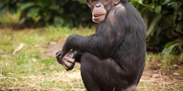 معلومات عن الشمبانزي