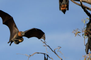 ماذا يأكل الخفاش ؟