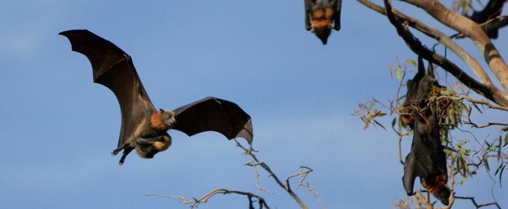 خفافيش أمريكا الجنوبية