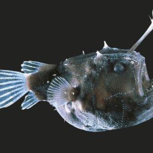 سمكة أبو الشص