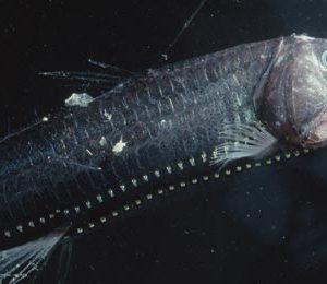 سمكة الأفعى