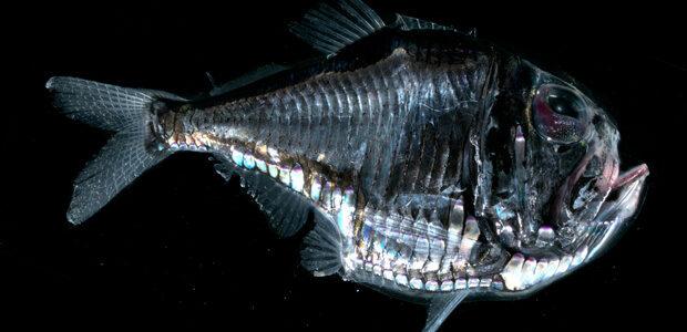 معلومات عن سمكة البلطة