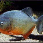 سمكة البيرانا