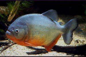 معلومات عن سمكة البيرانا