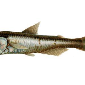 معلومات عن سمكة الفانوس