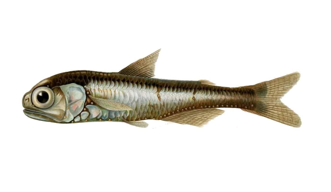سمكة الفانوس