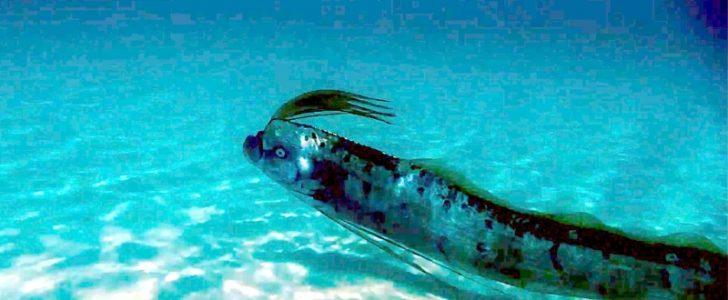 سمكة المجداف