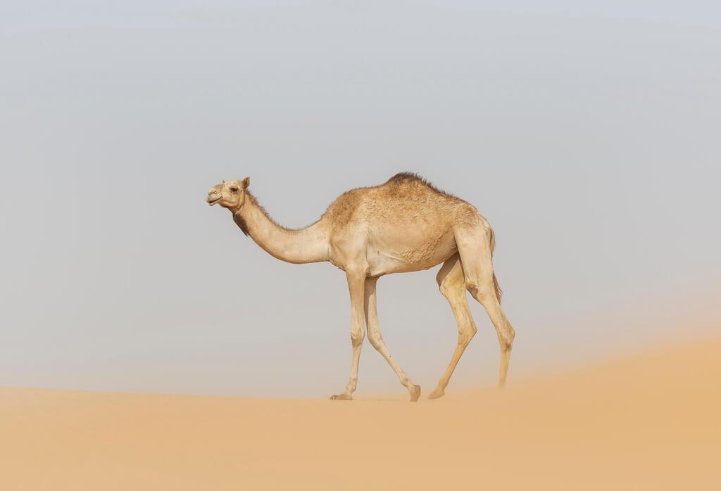 معلومات عن الجمل العربي