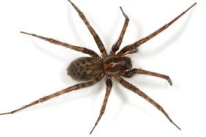 معلومات عن العنكبوت المنزلي