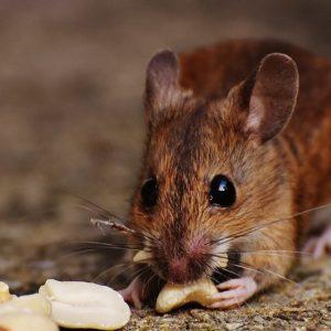 معلومات عن الفئران