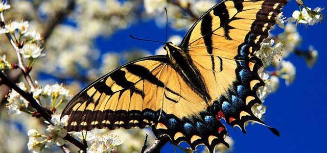 الفراشة خطافية الذيل
