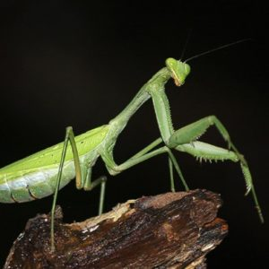 معلومات عن حشرة السرعوف
