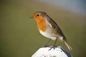 معلومات عن طائر أبو الحناء