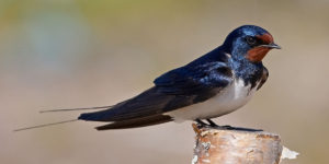 طائر الخطاف