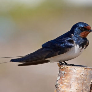 معلومات عن طائر الخطاف